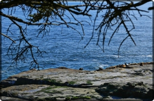Sea Lions at Pachena point