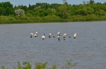 Pelicans galore!