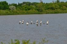 Pelicans galore!