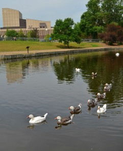 A convey of geese