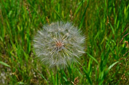 My favourite giant dandelion type thing