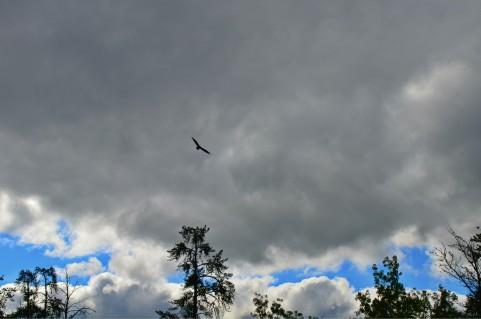 A Falcon at Falcon Lake?