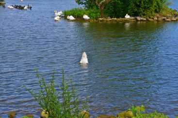 Swan's bottom