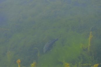 A carp swimming in downtown Toronto
