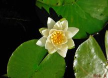 Alex's photo of a water Lily