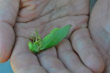 A leaf bug!