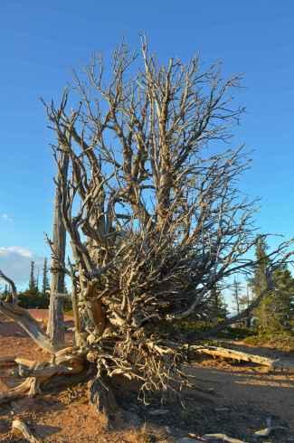 An ancient Bristlecone Pine